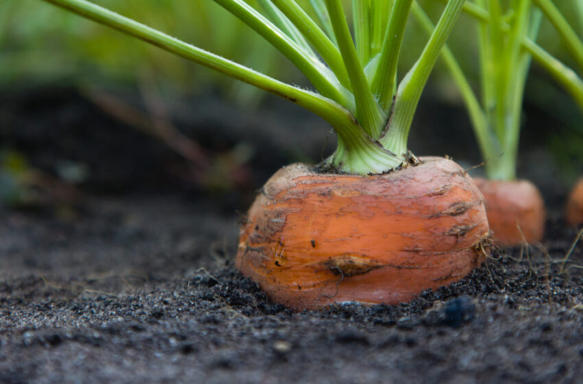 Vegetables You Can Select As soon as and Regrow Perpetually!