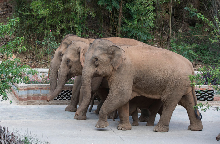 Wild Elephant Herd Headed In direction of Most indispensable Chinese City