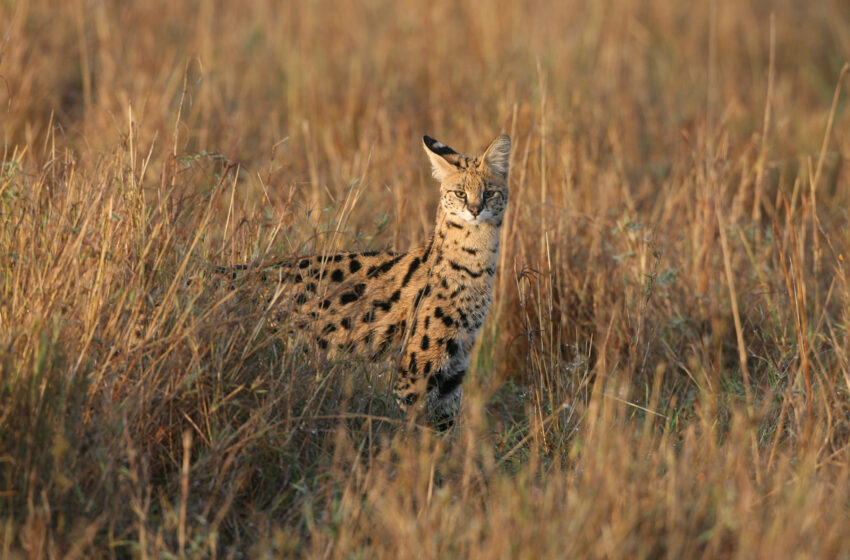 Girl Awakes to Uncommon Wild Cat in Her Bed, Huge Serval Aloof Prowling Atlanta Space